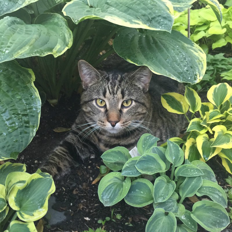 Cat-in-Hostas-Addy-Gratitude-Prime-Advertising