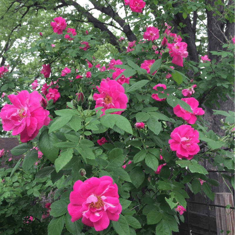Roses-Addy-Gratitude-Prime-Advertising